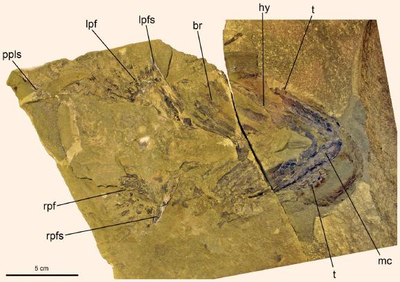 Doliodus problematicus'un genel görüntüsü. t dişlerini, mc alt çene kıkırdağını ve rpf göğüs yüzgecini gösteriyor.
