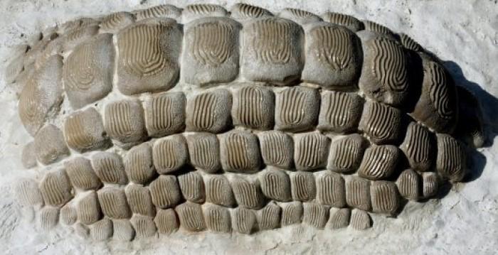 Ptychodus'un ezici yassı dişleri.