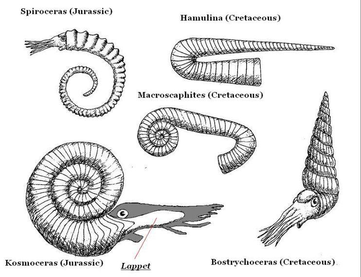 Binlerce ammonit türünden birkaçı.