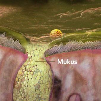 Akciğer gibi burun yüzeyi de tüy biçimli sil ile kaplı. Siller mukusu hareket ettirir.