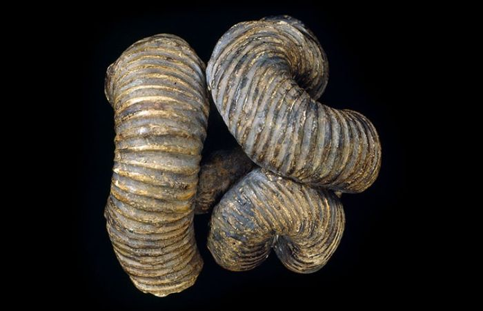 Nipponites mirabilis ammoniti tipik spiralden ziyade alışılmadık bir düğüm şekline sahipti.
