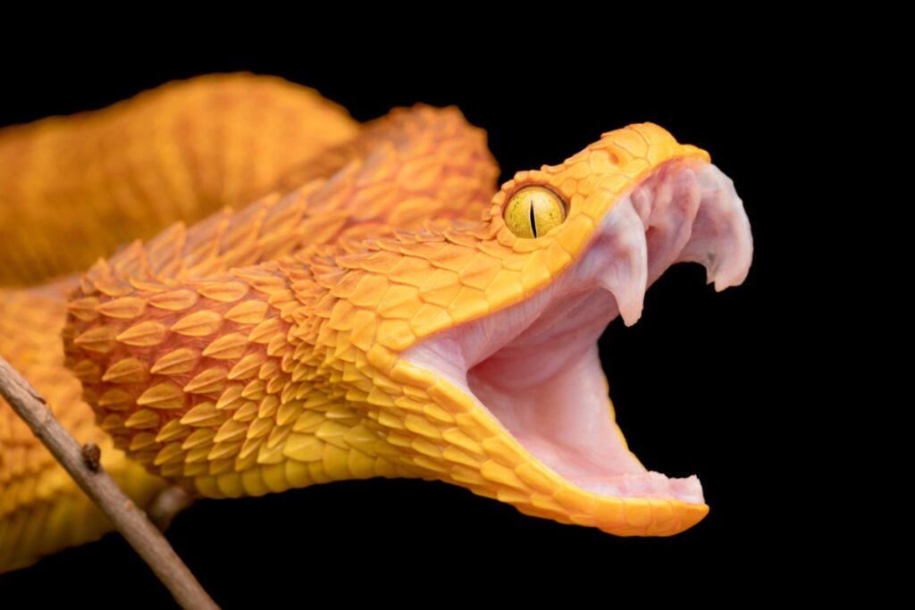 yılanın zehirli dişleri