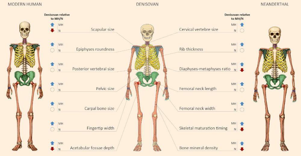 Modern insan, Neandertal ve Denisovalı iskeletlerinin anatomik karşılaştırması.