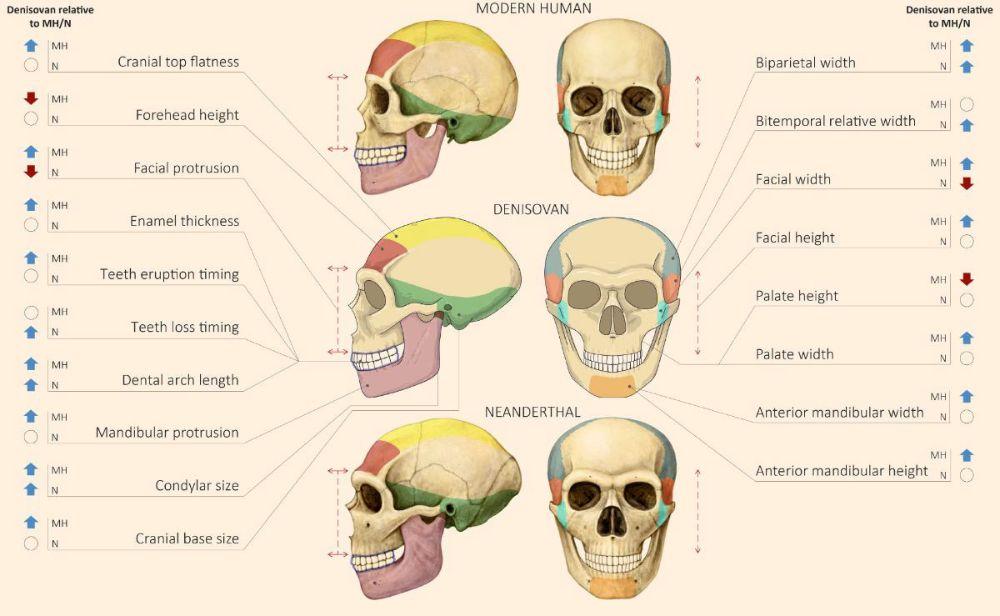Modern insan, Neandertal ve Denisovalı kafataslarının karşılaştırılması.