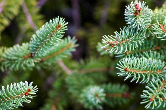 Beyaz Ladin gibi yaprak dökmeyen ağaçların yaprak iğneleri, onları kış soğuğundan koruyan mumsu bir maddeyle kaplı.